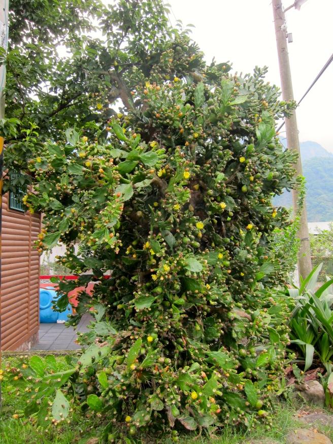 官舍旁有一棵好大的仙人掌!